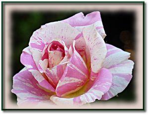 rose roseraie 3