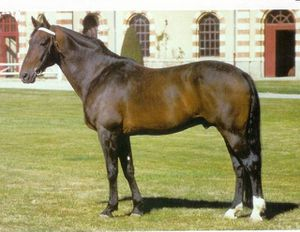 cheval-20trotteur-20francais.jpg