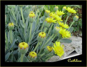 othonopsis-cheirifolia-3.JPG