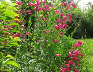penstemon3--R-solution-de-l--cran-.jpg