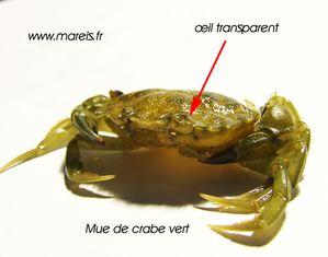 Mue du crabe vert