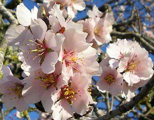 amandiers-en-fleurs.jpg