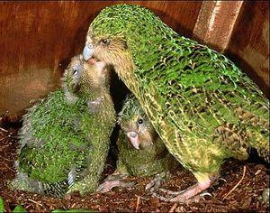 kakapo 8