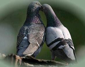 pigeon10