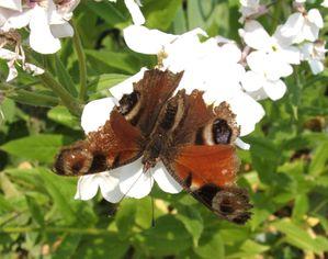 papillon-0847-1.JPG