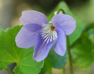 violaviolette002.jpg