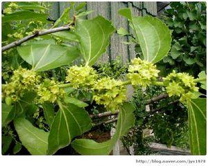 des fleurs de jujubes