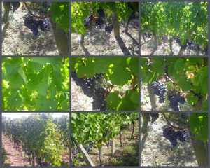 photos-vignes.jpg