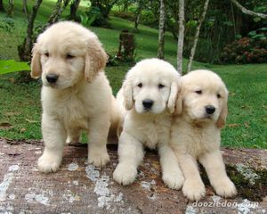 Golden-Retriever-Puppy-7.jpg