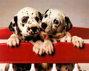 2766-Chiots-dalmatiens-Affiches.jpg