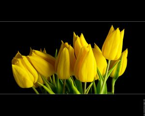 photo-tulipe-jaune-studio-01.jpg