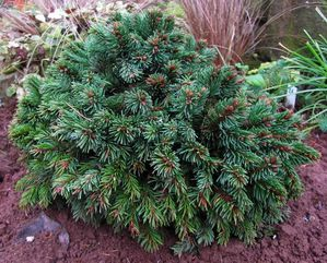 picea-abies-Roth-16-dec-14.JPG