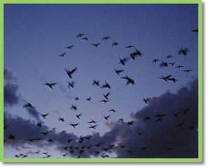 oiseaux cérulés