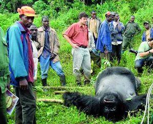 Les gorilles sont toujours très exposés au braconnage