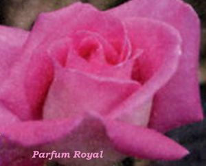 Parfum-Royal.jpg