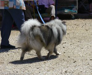 keeshond-exposition-canine
