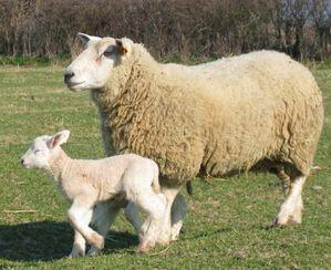 agneau-brebis.jpg
