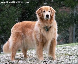 Golden-20Retriever-1_5-20years-Red-1186097368.jpg