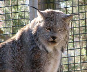 Lynx du Canada ,