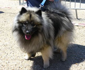 keeshond-fly