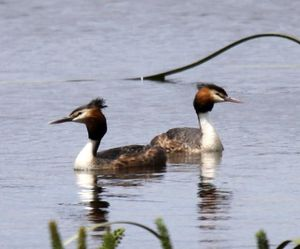 Great_Crested_Grebes.jpg