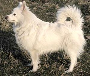 spitz-allemand-loulou-blanc
