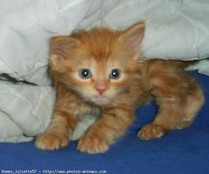 363379-animaux-chats-angora_turc.jpg