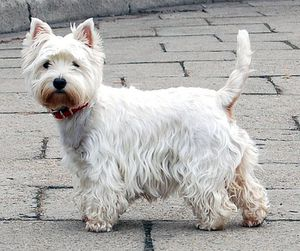1191991408west_highland_white_terrier.jpg