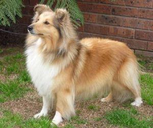 chiens-Shetland-Sheepdog-f0c6efde-36ae-aa04-7183-987da8e4dd.jpg