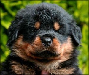 65398447_1-Rottweiler-Puppies-for-sale-09891013131-ncr.jpg