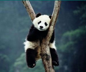 PANDA TRES FATIGUE