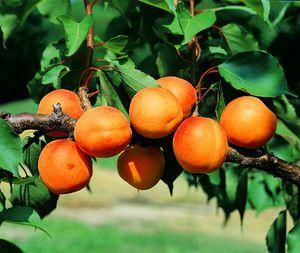 l-abricot--copie-1.jpg