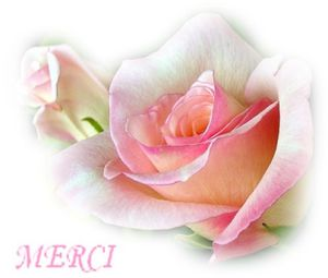 Rose-Merci-N1.jpg