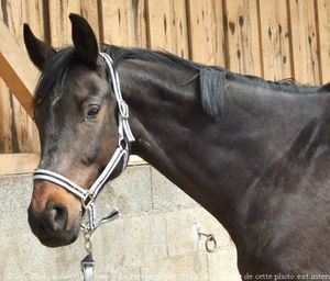 427259-animaux-chevaux-anglo_arabe.jpg