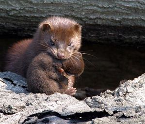american-mink-with-kit.jpg