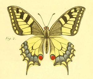 papillon-de-jour-papillon-machaon-buffon.jpg