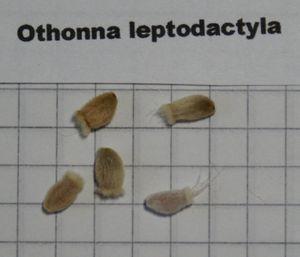 Othonna-leptodactyla-009.jpg