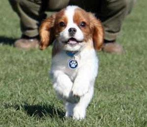 White_Brown_-Cavalier_King_Charles_Spaniel_Puppies.jpg