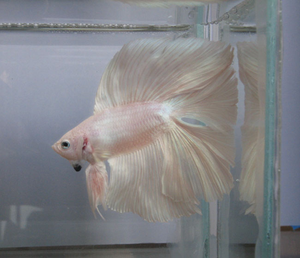 queue double (betta)