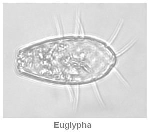bacterie-euglypha.PNG