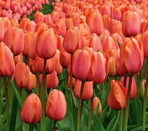 tulipe-rouge.jpg
