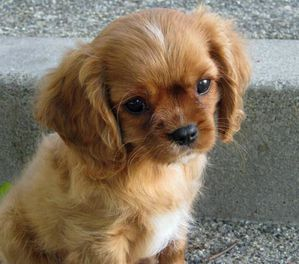 Brown_-Cavalier_King_Charles_Spaniel_Puppies.jpg