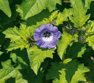 Nicandra-physalodes-Violacea.jpg