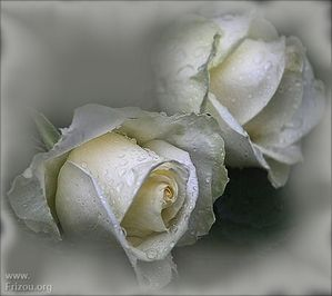 0 FOND SUPER ROSES BLANCHES