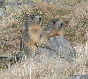 Marmottes Timothée