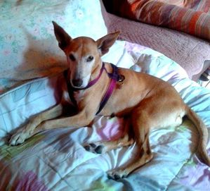CAROL-6-juillet-2012-galgos-ethique-europe-adopter-copie-2