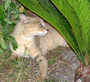 Chausie-Jungle_Cat_1.jpg