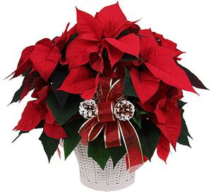 poinsettia-copie-2.jpg