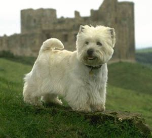 West-Highland-White-Terrier-muzzle-West-Highland-White-Terr.jpg