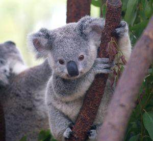 koala--2-.jpg